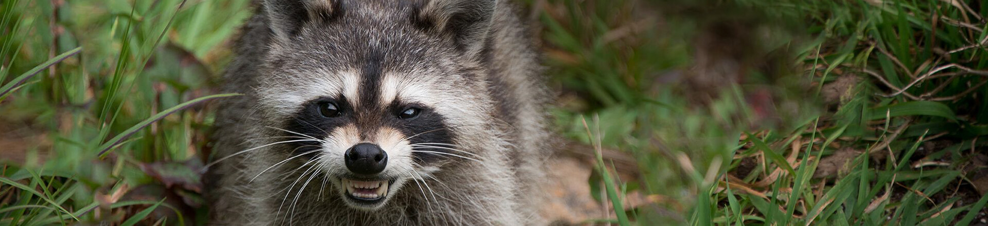 Raccoon Control Services Vancouver, Surrey and Burnaby