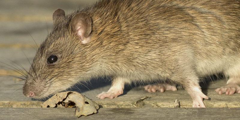 rats control services in surrey