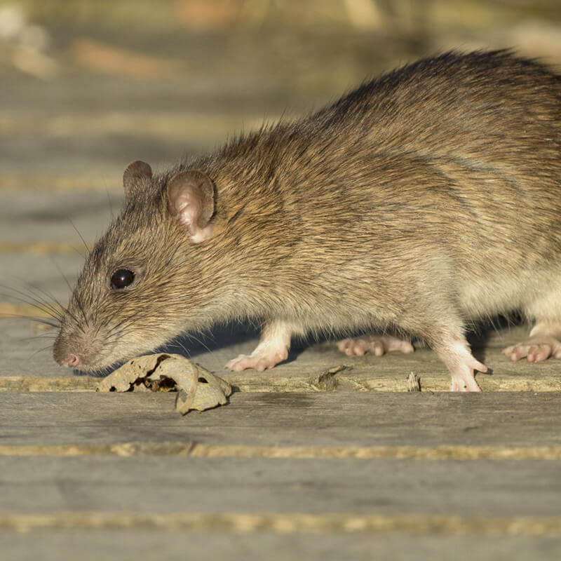 rats control services in surrey