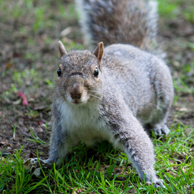 squirrel control services in surrey
