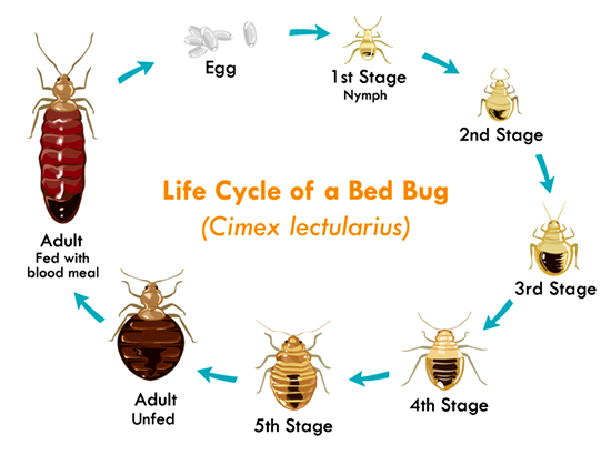 LIFECYCLE OF BED BUG