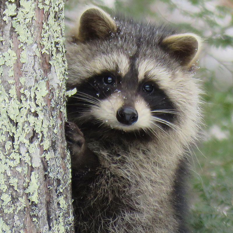 raccoon pest control