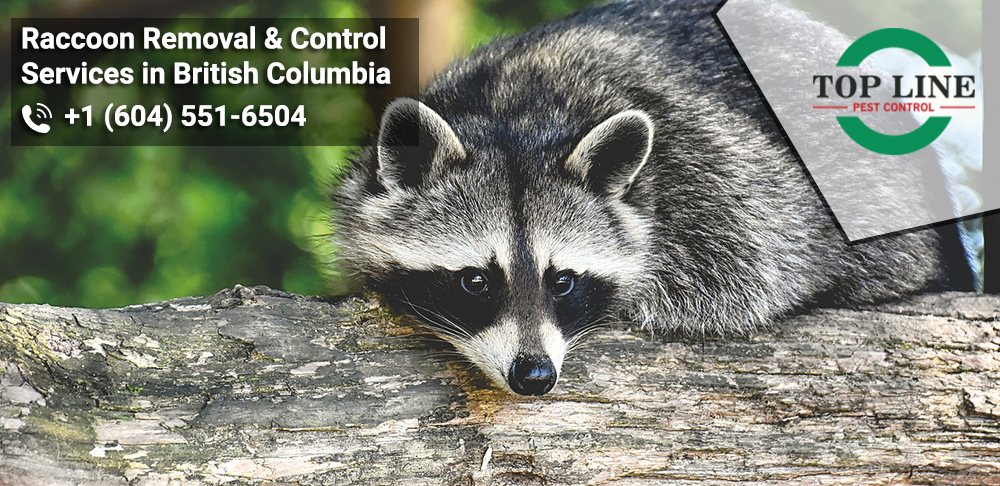 Raccoon Removal & Control Services in British Columbia